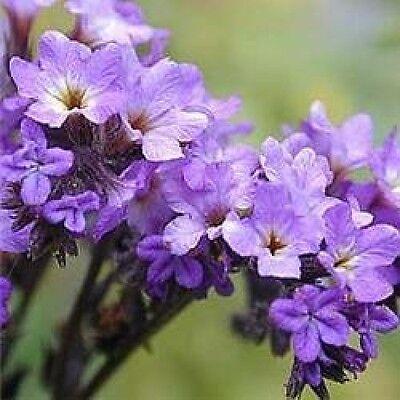 Herb Seeds - Heliotrope - 100 Seeds