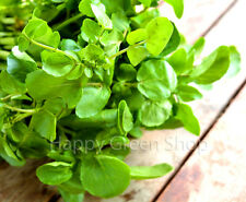 HERB - WATERCRESS  - 700 SEEDS - Nasturtium officinale - SOW ALL YEAR