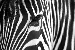 Black and White Zebra Streaks Animal Posters Wall Art Pictures Premium Gloss