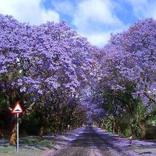 Lots 100X Jacaranda Mimosifolia Royal Empress Flower Tree Seeds Garden Plant New