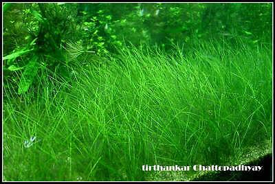 BUNCH LIVE CARPET PLANT eleocharis parvula DWARF AQUARIUM AQUATIC TROPICAL MOSS