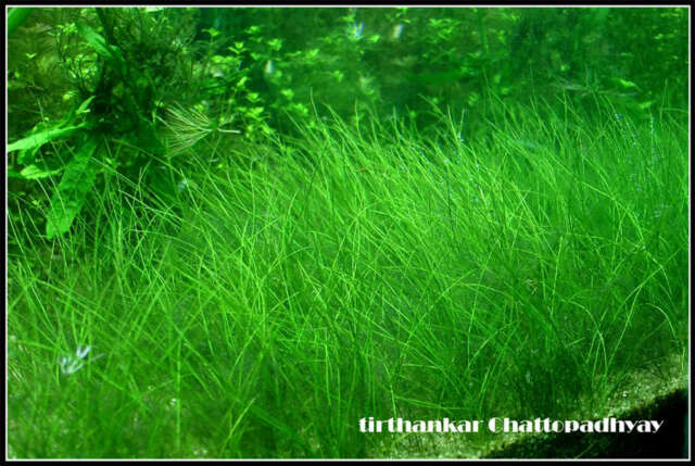 BUNCH LIVE CARPET PLANT eleocharis parvula DWARF AQUARIUM AQUATIC TROPICAL MOSS
