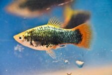1 Trio Random Gender Black Neon Red Tail Variatus Tropical Freshwater Fish