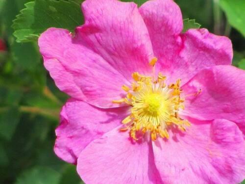 15 PRAIRIE ROSE Bright Pink Arkansas Rosa Arkansana Flower Seeds Gift /& CombS//H