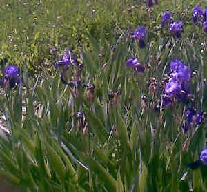 PIANTINE-di-IRIS-10-Rizomi-con-foglie-da-fiore-BLUE