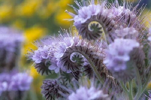 50+ PURPLE FIDDLENECK  TANSY / LACY PHACELIA /  RESEEDING ANNUAL / GRAPE SCENTED