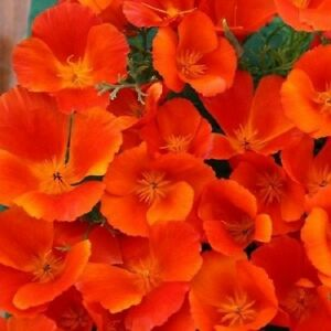 35 Copper Pot California Poppy Papaver Eschscholzia Perennial