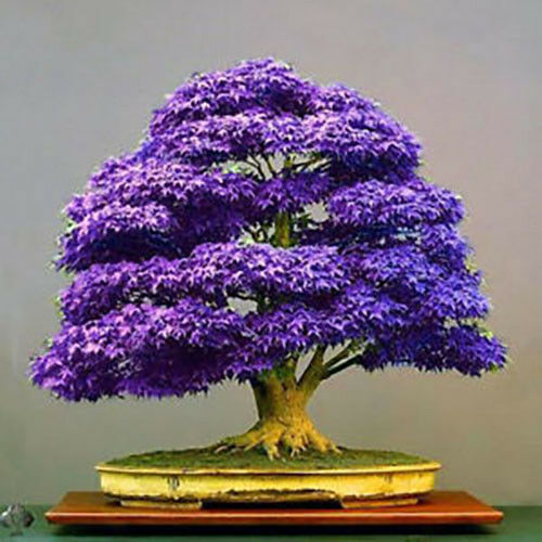20 PCs Purple Maple Seeds Bonsai Plant Tree House Herb Garden Flower Pot Decor