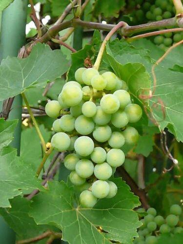 50 GREEN GRAPE Fruit Vine Vitis Vinifera Seeds *CombS/H