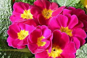 Primrose-Mini-Plug-Plants-x-15-Primula-vulgaris-039-Cabaret-Pink-039-Perennials