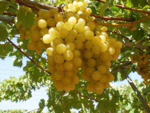 5   cuttings FREE SHIPPING Honey Yellow grapes