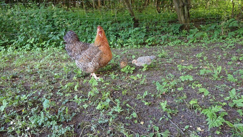 Kyllinger, 2 stk.