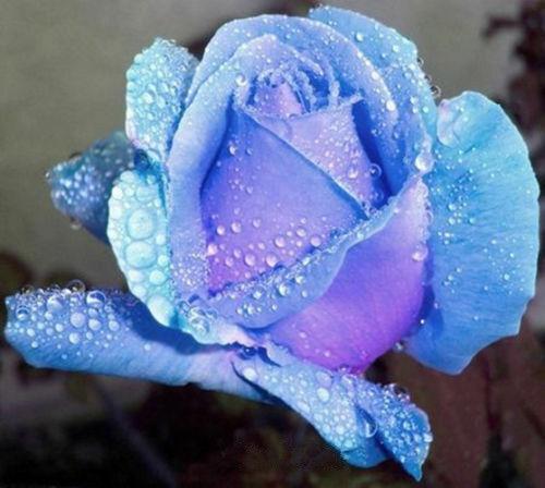 10 Seeds Light Blue Rose Flower seeds Home Garden Flower