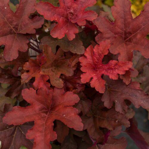 Schaumglöckchen Heucherella Red Rover Bewährte Staude Kombiversand TOP Bewertu
