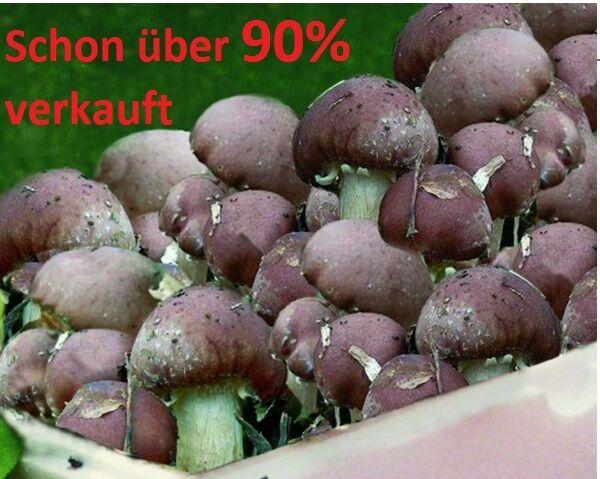 Pilzzucht Sommer/Winter: Braunkappen-Riesenträuschlinge Monate auf Stroh/Beet