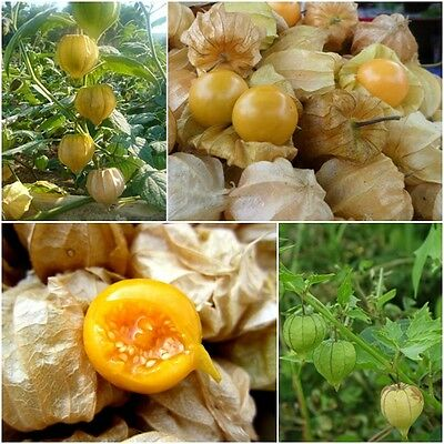 Cape Gooseberry 200 Seeds, Physalis Peruviana, Giant Poha Berry, Ground  Cherry | eBay