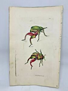 Kangaroo Beetle - 1783 RARE SHAW & NODDER Hand Colored Copper Engraving