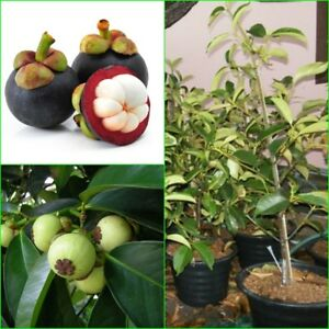 Details about Mangosteen Plant Garcinia mangostana Popular tropical fruit  plant from Thailand