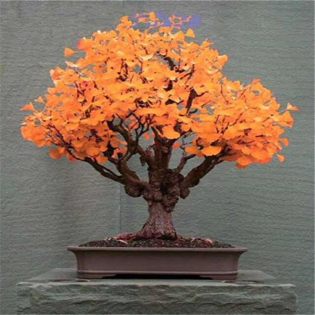 30Pcs Ginkgo Biloba Maidenhair Tree Seeds Easy to Grow Bonsai Tall Tree Seed