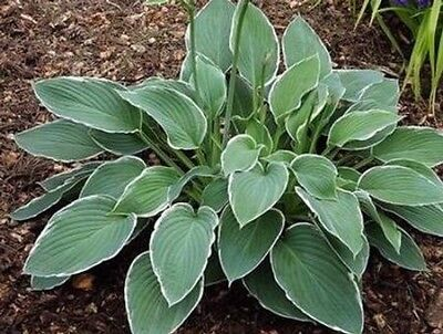 billige hosta planter