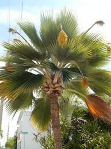 Pritchardia Pacifica 30 x Fiji Fan Palm seeds