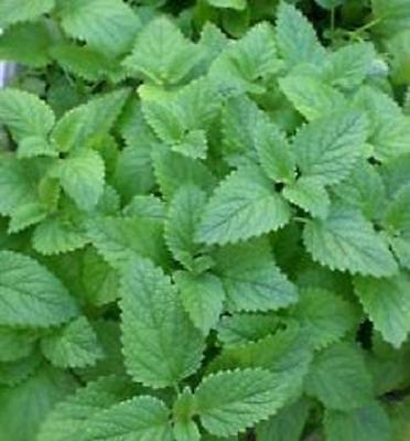 LEMON MINT Culinary 100 seeds Herb garden flower