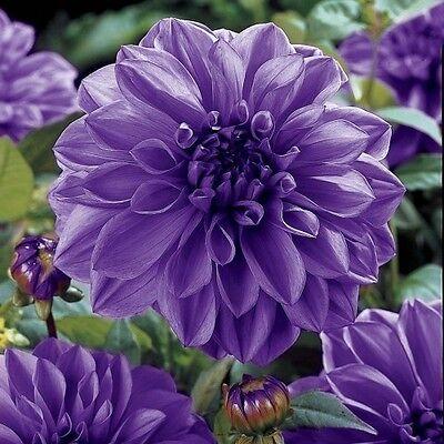 DAHLIA DINNER PLATE Lilac Seeds Exotic Heirloom Garden Plant Seed -Grow Flowers