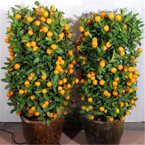 100Pcs Orange Tree Seeds Delicious Fruit Bonsai Dwarf Plant Home Decor Welcome