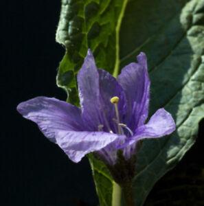 Alraune-Mandragora-officinarum-10-Samen