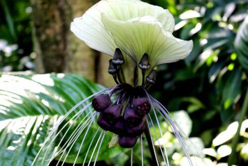 un piccolo miracolo di fabbrica! La esotiche fioritura delle maniche a pipistrello pianta