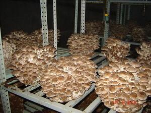 oz. WHITE-BUTTON mushroom-spores-mycelium-Agaricus-seeds FREE SHIPPING 56gr//2