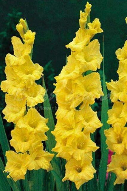 Zone 3-10 10 Gladiolus Flower Bulbs-White Prosperity Pack of 10 Bulbs