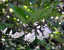 Snowberry   Milkberry   Chiococca alba   Organic   10 Seeds Free US Shipping