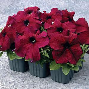 Petunia-Seeds-Supercascade-Burgundy-Pelleted-Seeds-50-200-Or-500