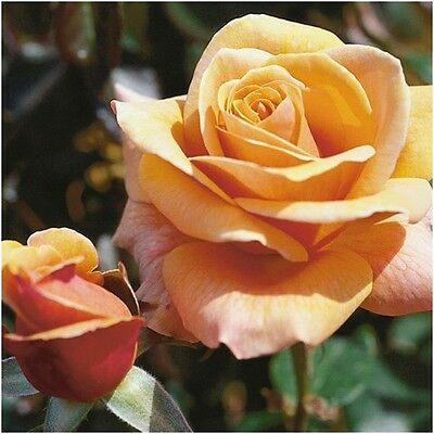 FAITHFUL FRIEND  SCENTED  ROSE  LARGE FLOWERD HYBRID TEA H T BARE ROOTED PLANT