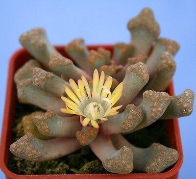 JEWEL PLANT (Titanopsis hugo-schlechteri) 20 seeds