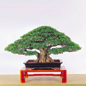 Am-50Pcs-Chinese-Ficus-Tree-Seeds-Roots-Banyan-Garden-Outdoor-Woody-Plant-Perfe