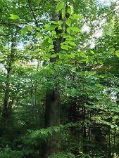 7 Fresh American Beech Tree Seeds NATIVE VARIETY Beechnut Tree