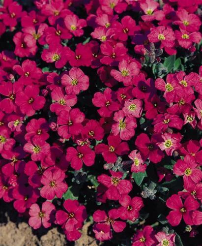 PERENNIAL FLOWER AUBRIETA ROCK CRESS ROYAL RED 0.15 GRAM ~ 330 seeds