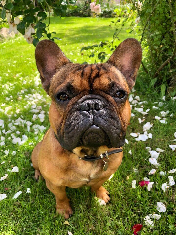 Fransk Bulldog, hund, 2 år
