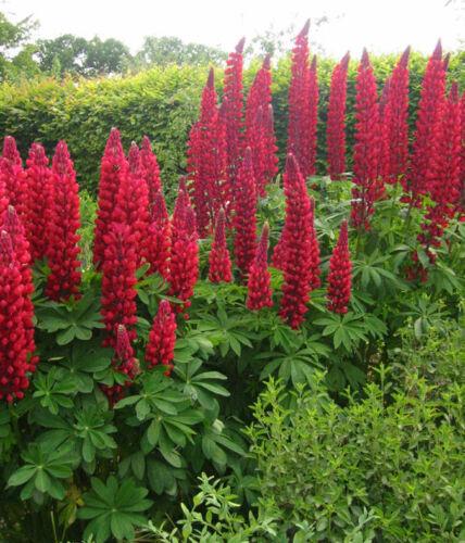 200Pcs Lupine FLEURS rares Graines Belle Coloré Vivace Jardin Fleurs