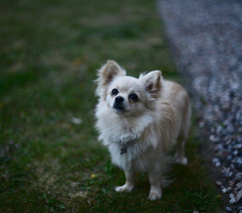 Pomchi, hund, 2 år