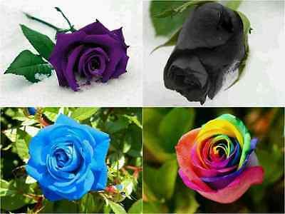 40 Coloured ROSE SEEDS - Blue Rainbow Black Purple Beautiful Gift Tree Flower