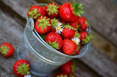 Saisons Fruits Parfumée Sucrée Quatre 500 GRAINES de FRAISE des 4