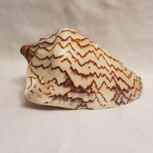 Voluta-Cymbiola-Nobilis-Seashell-125MM-nice-markings-Volute-Shell-VO70