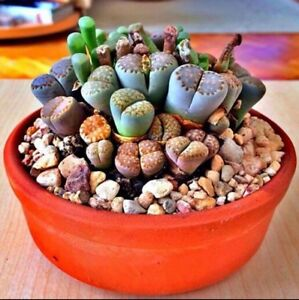 RARE-Lithops-MIX-succulent-cactus-EXOTIC-living-stones-desert-rock-seed-50-SEEDS