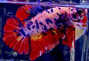 Live Betta Fish Male Import Giant Candy Galaxy HMPK Betta #668