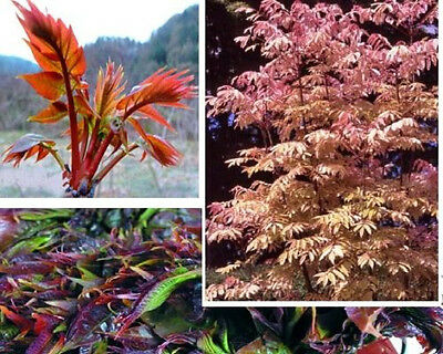 Chinesischer Gemüsebaum Bunte Blätter /& Blüten Samen Deko gesund /& lecker