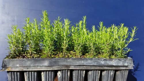 "ROSMARINUS OFFICINALIS ""ERECTUS/"" Offerta offer 40 piante alv Rosmarino Rosemary"