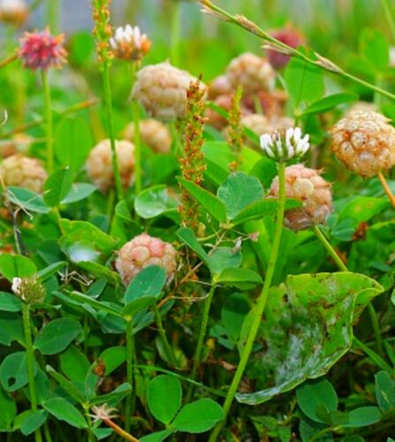 2 Pack Spring Special Details about  /Waterwise Strawberry Clover Seeds